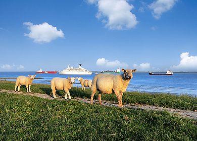 Schafe auf dem Deich in Dithmarschen