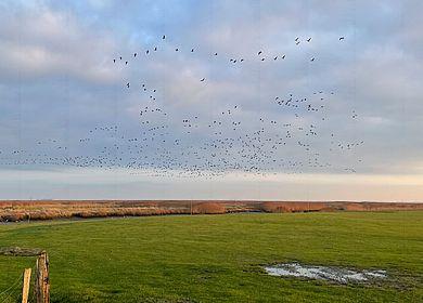 Vogelschwarm in Neufeld