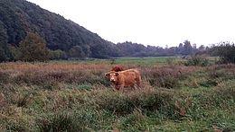 Rinder am Donner Kleve